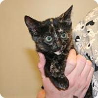 Domestic Shorthair Kitten for adoption in Wildomar, California - 315986