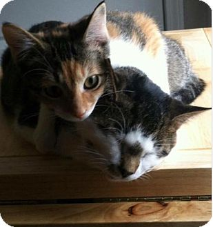 Domestic Shorthair Cat for adoption in Boca Raton, Florida - Tiggy and Olly