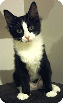 Domestic Mediumhair Cat for adoption in Lee's Summit, Missouri - Greer