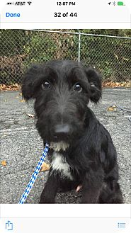 Irish Wolfhound Mix Puppy for adoption in Hainesville, Illinois - Lester