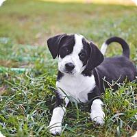 Adopt A Pet :: Duke - Warner Robins, GA