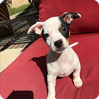Adopt A Pet :: Bambi - Brea, CA