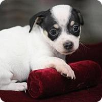 Adopt A Pet :: JAY-Z - Phoenix, AZ