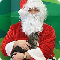 Domestic Shorthair Cat for adoption in Burlington, Washington - Lobos