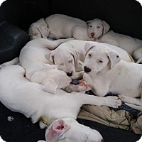 Adopt A Pet :: Constellations Litter -7 puppi - Wyoming, MI
