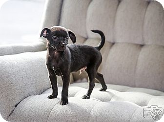 Chihuahua/Terrier (Unknown Type, Small) Mix Puppy for adoption in Denver, Colorado - Bennett