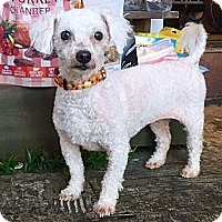 Adopt A Pet :: Tinkerbell - LA, OC, SD, CA
