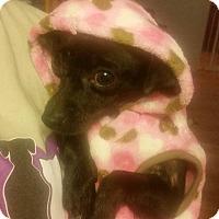 Adopt A Pet :: Barbie - Rockford, IL