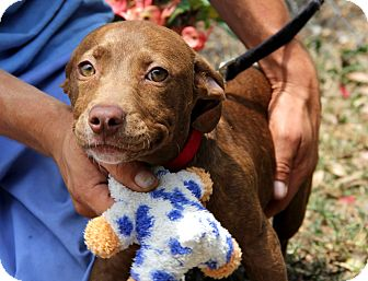 American Staffordshire Terrier Mix Puppy for adoption in Bradenton, Florida - Josey