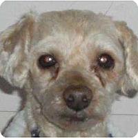 Adopt A Pet :: Precious - Rigaud, QC