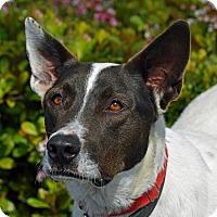 Australian Cattle Dog/Akita Mix Dog for adoption in San Jose, California - Zane