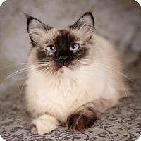 Adopt A Pet :: Chulita - Eagan, MN