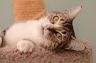Domestic Shorthair Cat for adoption in Baton Rouge, Louisiana - Shania