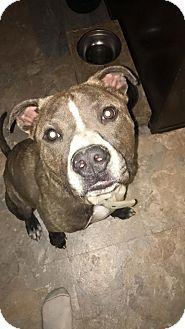 Pit Bull Terrier Mix Dog for adoption in Durham, North Carolina - Steele