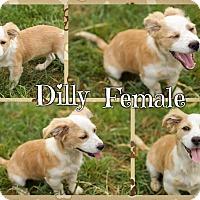 Adopt A Pet :: Dilly (POM JS) - Harrisonburg, VA