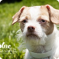 Adopt A Pet :: Blue *REBOUND* - Appleton, WI