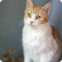 Domestic Shorthair Cat for adoption in South Haven, Michigan - Cleopatra