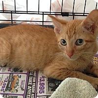 Domestic Shorthair Kitten for adoption in Tampa, Florida - Cinnamon