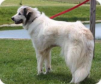 Great Pyrenees Dog for adoption in Staunton, Virginia - Thelma