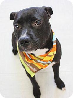 Labrador Retriever Mix Dog for adoption in New York, New York - Jack (Manhattan)