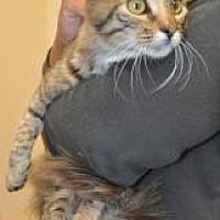 Domestic Mediumhair Kitten for adoption in Pompano Beach, Florida - Boca Cleo