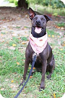 Labrador Retriever/Boxer Mix Dog for adoption in Castro Valley, California - Freya