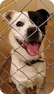 Border Collie Mix Dog for adoption in Crown Point, Indiana - Quintas