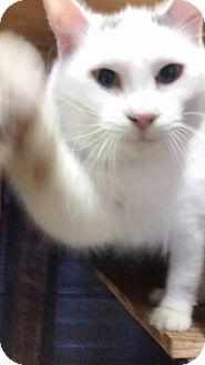 Domestic Mediumhair Cat for adoption in Ocala, Florida - ROMEO