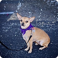 Adopt A Pet :: Little Lady - Springfield, MO