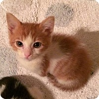 Domestic Shorthair Cat for adoption in Mobile, Alabama - Jack