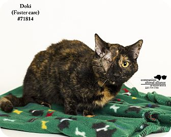 Domestic Shorthair Cat for adoption in Baton Rouge, Louisiana - Doki (Foster Care)