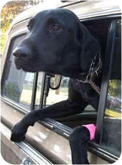 Labrador Retriever Mix Dog for adoption in Portland, Oregon - Chase