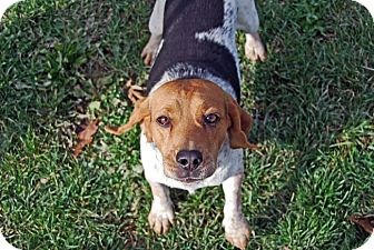 Beagle Dog for adoption in Carey, Ohio - FINNEGAN