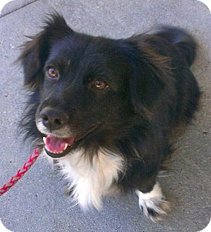 Border Collie Dog for adoption in Thousand Oaks, California - Ella
