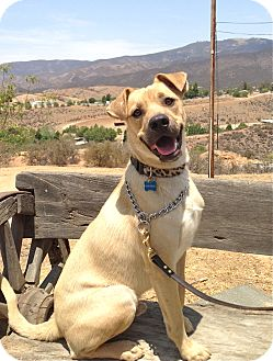 Labrador Retriever/Shepherd (Unknown Type) Mix Puppy for adoption in Los Angeles, California - Henry
