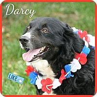 Adopt A Pet :: Darcy - Covington, KY