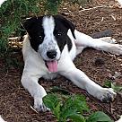 Adopt A Pet :: Dottie