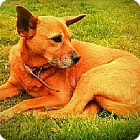 Terrier (Unknown Type, Medium)/Chow Chow Mix Dog for adoption in Youngsville, Louisiana - Kanga