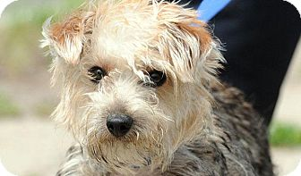 Yorkie, Yorkshire Terrier Dog for adoption in New Haven, Connecticut - KYLE