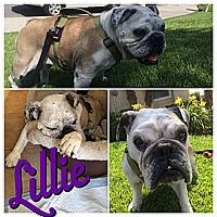 Adopt A Pet :: Lillie - Santa Ana, CA