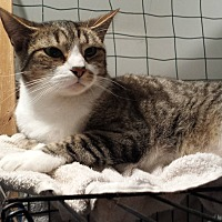 Domestic Shorthair Cat for adoption in Stafford, Virginia - Bugs