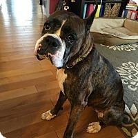 Adopt A Pet :: Stella - Round Lake Beach, IL