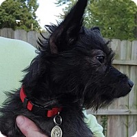 Yorkie, Yorkshire Terrier Mix Dog for adoption in Providence, Rhode Island - Wilbur M CP