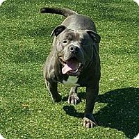 Adopt A Pet :: Lou - Bronx, NY
