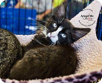 Domestic Mediumhair Kitten for adoption in Mooresville, North Carolina - A..  Junior
