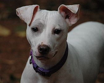 Italian Greyhound/Terrier (Unknown Type, Medium) Mix Dog for adoption in West Springfield, Massachusetts - Gracie