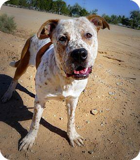 Mastiff/Australian Cattle Dog Mix Dog for adoption in Casa Grande, Arizona - Ben's Spirit