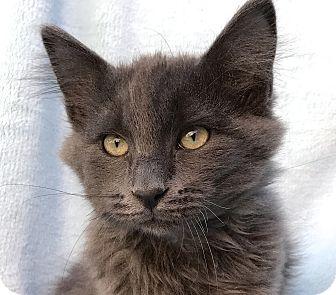 La Jolla, CA - Russian Blue. Meet Huckleberry a Kitten for ...