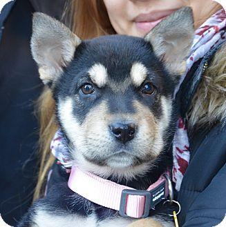 German Shepherd Dog/Husky Mix Puppy for adoption in New York, New York - Shyla!