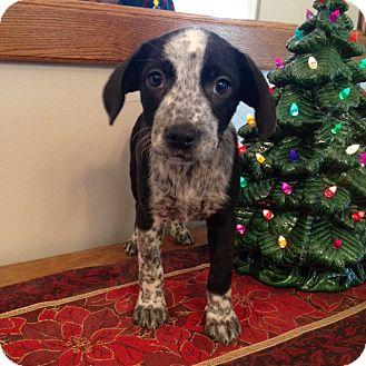 Labrador Retriever/Australian Cattle Dog Mix Puppy for adoption in Manchester, New Hampshire - Petra - pending